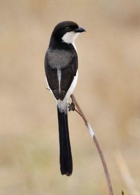 Langschwanzwürger (Afrika)