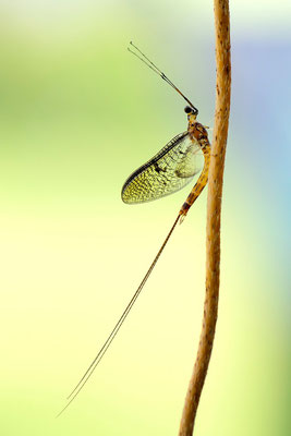 Eintagsfliege (Ephemeroptera); 8. Juli 2013, Brissago TI