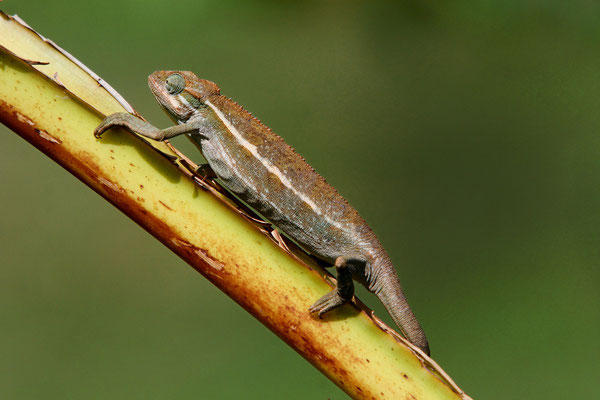 Chamaeleo ellioti, Jinja / Viktoriasee Nilquelle, Uganda