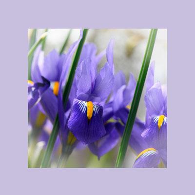 Blaue Zwergiris (iris reticulata)