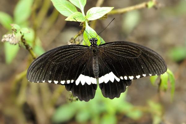 Gewöhnlicher Mormone (Papilio polytes); Weibchen