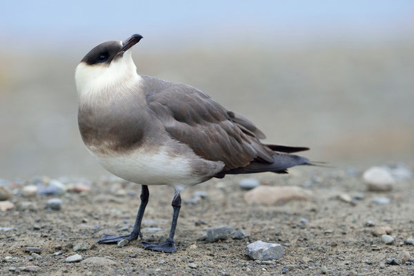 Schmarotzerraubmöwe (Stercorarius parasiticus); 2. Juli 2015; Longyearbyen