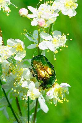 Goldglänzender Rosenkäfer (Cetonia aurata)