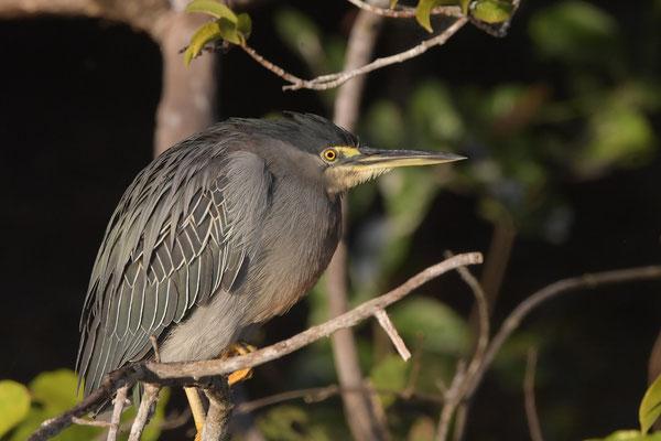 Mangrovereiher (Butorides striata); Pantanal Juli 2016