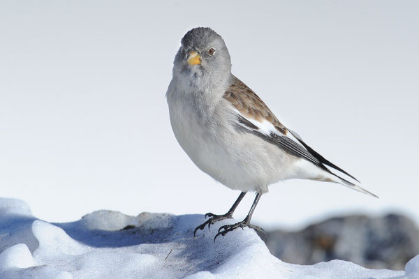 Schneefink, auch Schneesperling (Montifringilla nivalis)