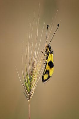 56 - Östlicher Schmetterlingshaft