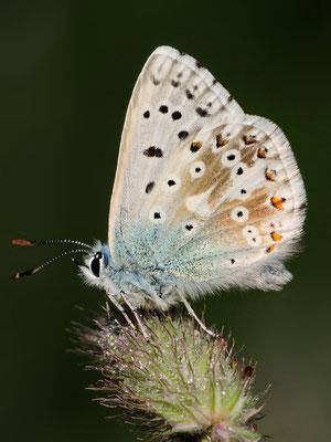 Silbergrüner Bläuling (Polyommatus cordion); (Val da) Camp; 29-7-2012