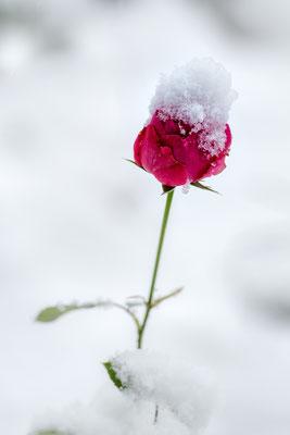 Rose im Schnee; vor der Haustür; 6. Januar 2019