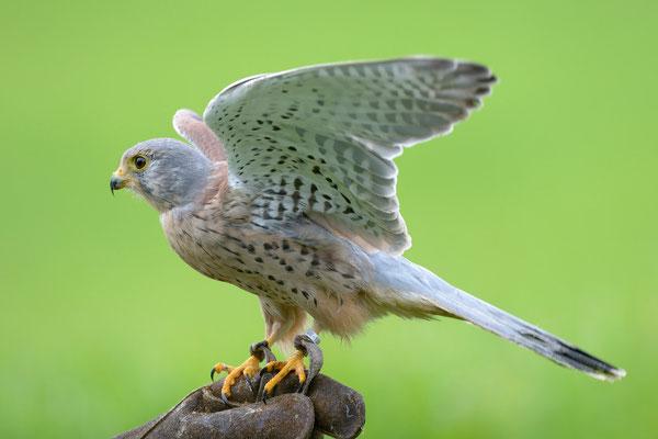 Turmfalke   Falco tinnunculus   Jagdexemplar, Luzerner Hinterland, Herbst 2012