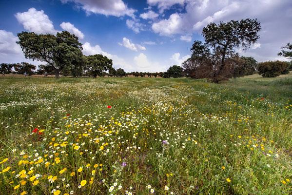 Steineichen in Naturwiesen (Serena Extremadura (ES)