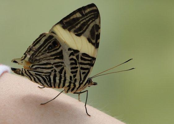 Zebra-Mosaikfalter (Colobura dirce)