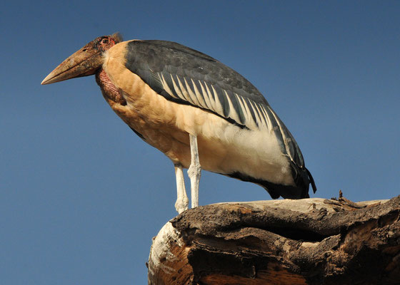 Marabu (Leptoptilos crumeniferus); Lake manyara NP, Tansania