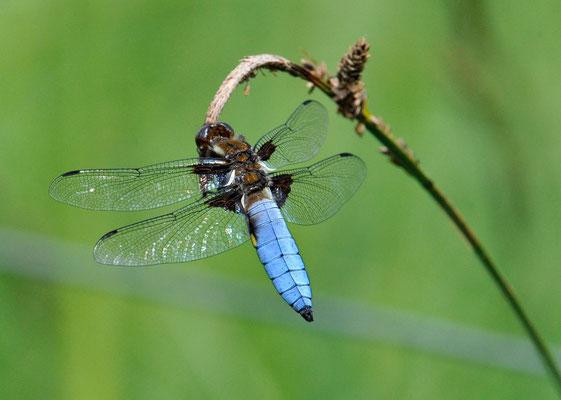 Plattbauch (Libellula depressa), Männchen