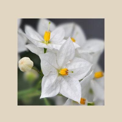 Kartoffelblume (Solanum rantonetti)