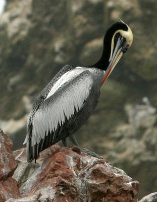 Chile-Pelikan, Paracas Peru