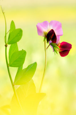 Linse oder Erve (Lens culinaris), auch Küchen-Linse genannt ist eine Pflanzenart aus der Unterfamilie Schmetterlingsblütler; Castelluccio IT; 26.6.2018