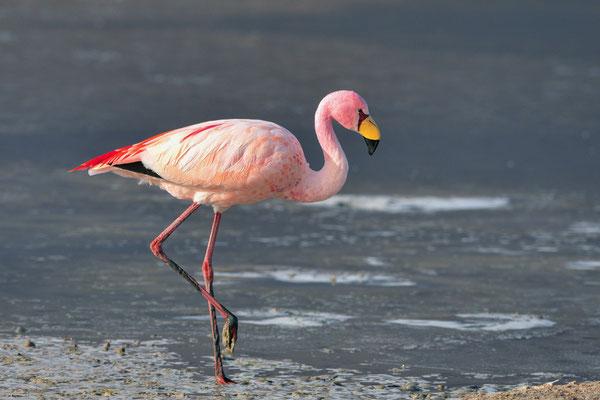 James-Flamingo (Phoenicoparrus jamesi);