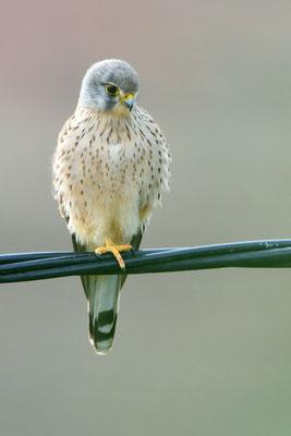 Turmfalke (Falco tinnunculus); 10. Februar 2016