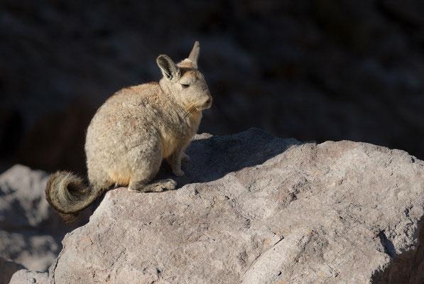 Die Cuvier-Hasenmaus oder Eigentliches Bergviscacha (Lagidium viscacia) ist im äußersten Süden Perus, dem Westen und Süden Boliviens, dem nördlichen und mittleren Chile und dem westlichen Argentinien verbreitet.