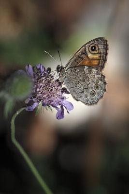 Braunauge (Lasiommata maera); Isenthal, 12. Juni 2020