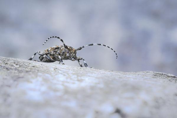 Der Keulenfüßige Scheckenbock (Aegomorphus clavipes)