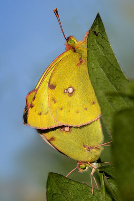 43 Artenkomplex Goldene Acht / Hufeisenklee-Gelbling  (Colias hyale / alfacariensis); 30. August 2015; Rüdlen