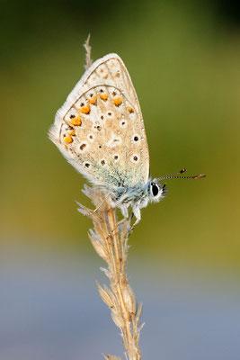 Silbergrüner Bläuling (Polyommatus coridon); Plain de Saigne; Montfaucon (JU); 15-8-2012
