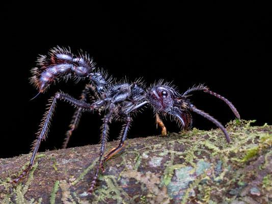 Ausgefahrener Stachel einer tropischen Riesenameise, alias 24h Ameise, alias bullet ant