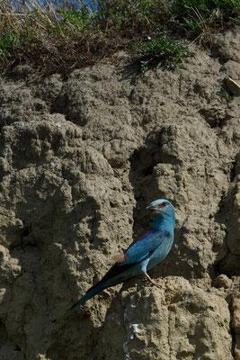 Blauracke oder Mandelkrähe (Coracias garrulus); Macin-Region Rumänien; Juni 2014