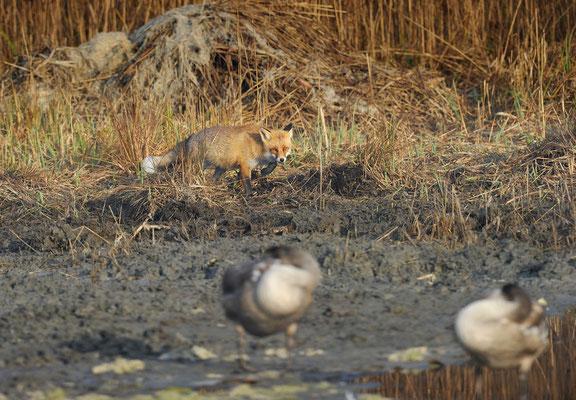 (k)eine Gefahr für Jungschwäne; Fuchs im Champ Pittet; 20-11-2011
