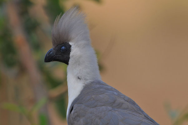 Nacktkehllärmvogel (Corythaixoides personatus)