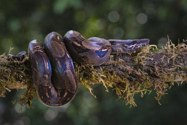 Abgottschlange (Boa constrictor, auch Königsschlange oder Abgottboa; Costa Rica 5/18