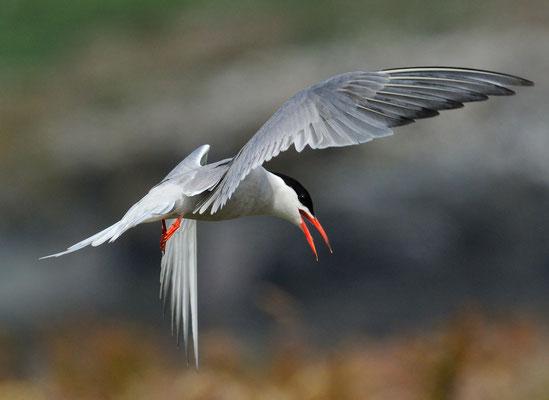 Fluss-Seeschwalbe (Sterna hirundo); Farne Islands England