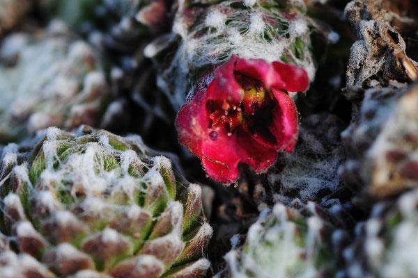 Spinnweb-Hauswurz (Sempervivum arachnoideum)
