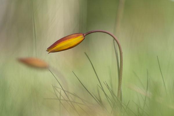 Südliche Tulpe ( Tulipa silvestris ssp. austrális ); 27. Mai 2017 VS