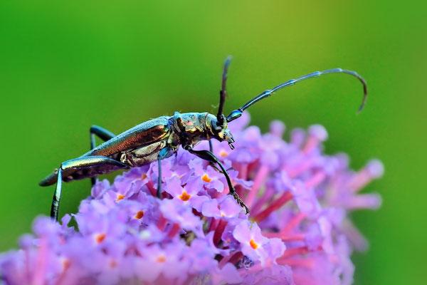 Moschusbock (Aromia moschata): Jardin Musette; 25.7.15