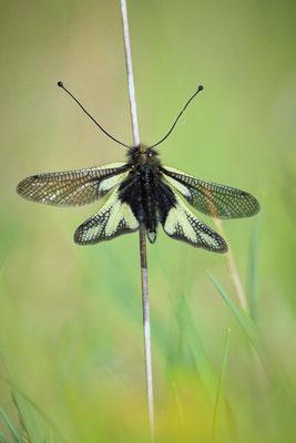 Auswahlbild 41 - Libellen-Schmetterlingshaft