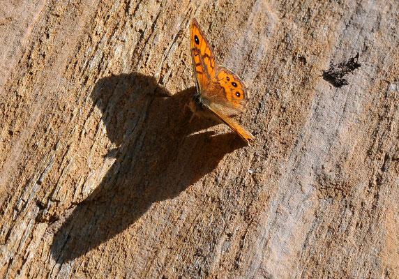 133 Mauerfuchs (Lasiommata megara); Lötschberg Südrampe