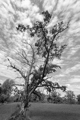 Alte Stieleiche (Quercus robur L); 30.9.2018, Bubendorf BL