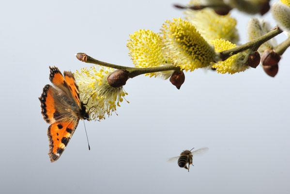Kleiner Fuchs (Aglais urticae) mit Biene im Frühling