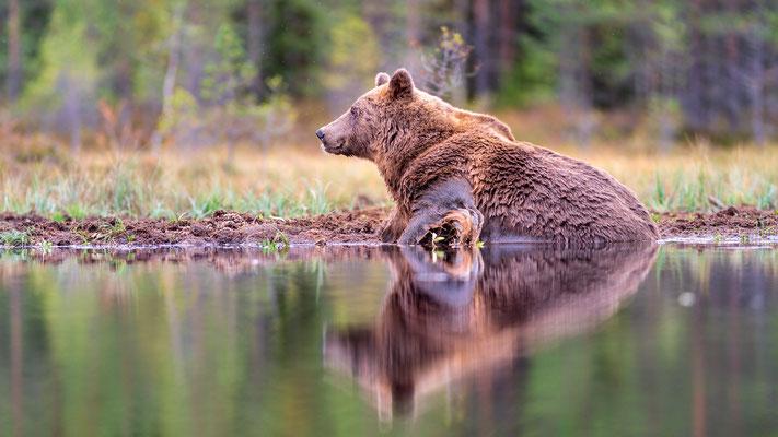 Bären im Finnischen Herbstwald; Viiksimo, 8. September 2019