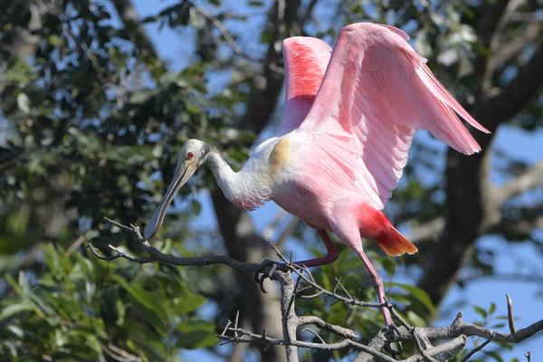 Rosalöffler (Platalea ajaja); Pantanal 2016
