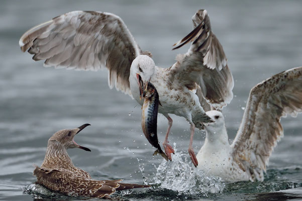 Auch Heringsmöwen (Larus fuscus) lieben Fisch; 8. September 2015; Lauvsnes Fjord