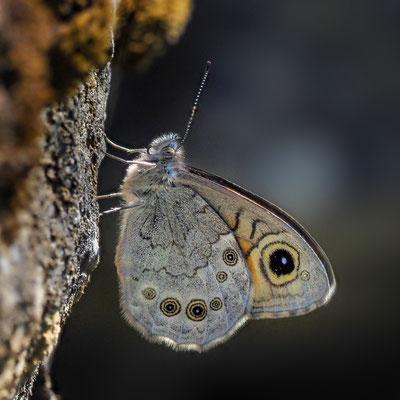 Braunauge (Lasiommata maera); Isenthal, 5. Juni 2020