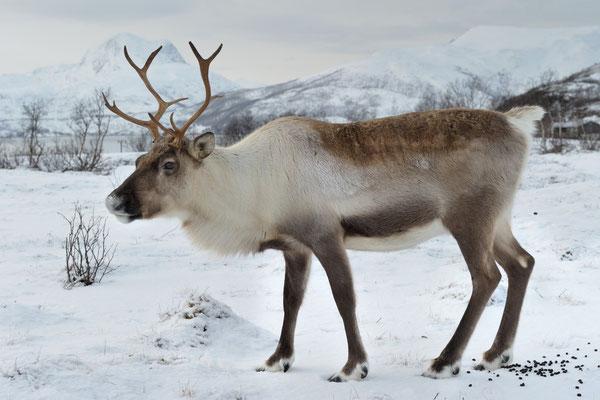 Rentier (Rangifer tarandus); Februar 2014 Tromsö Norwegen