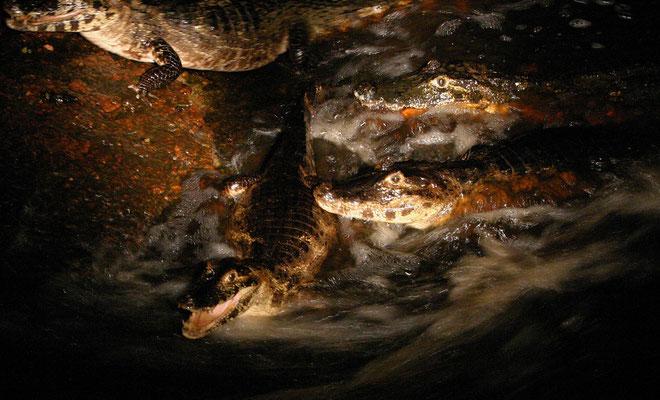 Brillenkaiman 'by night' (Caiman yacare), Pantanal Brasilien