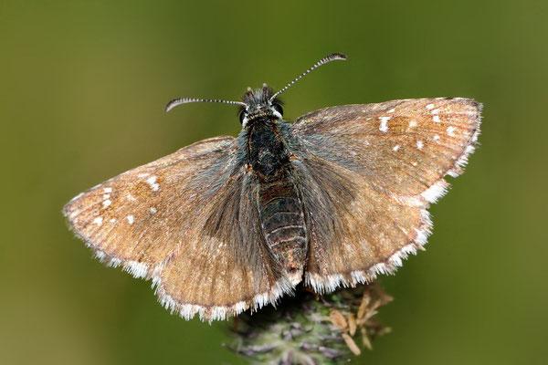 Sonnenröschen-Würfelfalter (Prygus alveus); Sfazu GR; 29-7-2012