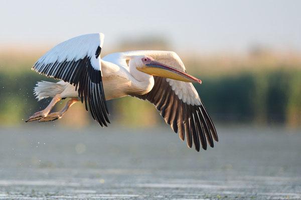 Abflug eines Rosapelikan im Donaudelta