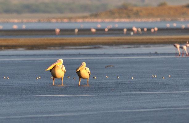 Rosapelikan, Lake Natron Tansania