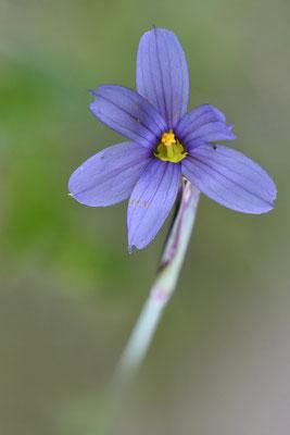 Blumensimse (Sisyrinchium montanum), Mai, Rekingen